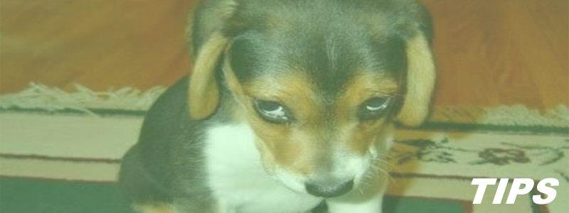 waarom kijkt hond sip zielig en triest - studie