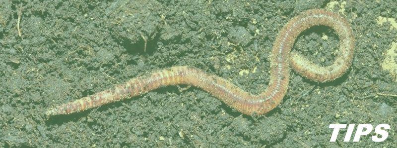 regenwormen kweken vissen